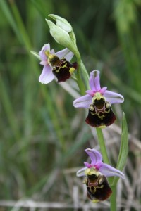IMG_7477 - Ophrys bourdon (6)