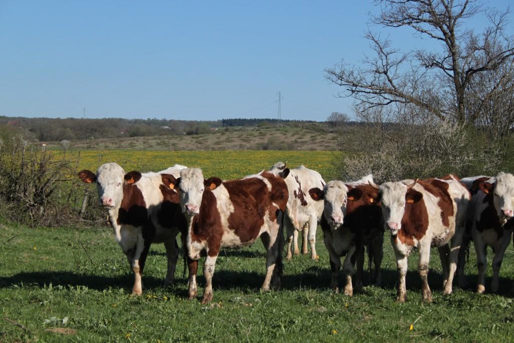 IMG_0712 - Vache Montbéliarde